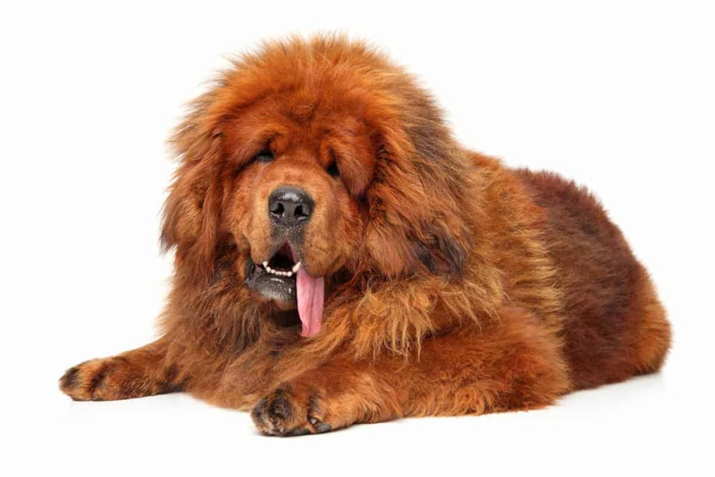 Tibetanski Mastif