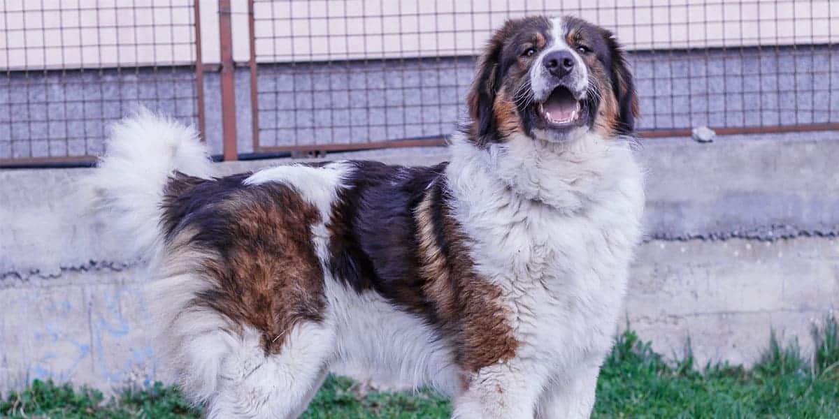 Tornjak - saznajte sve što vas zanima a niste znali o ovom unikatnom pastirskom psu