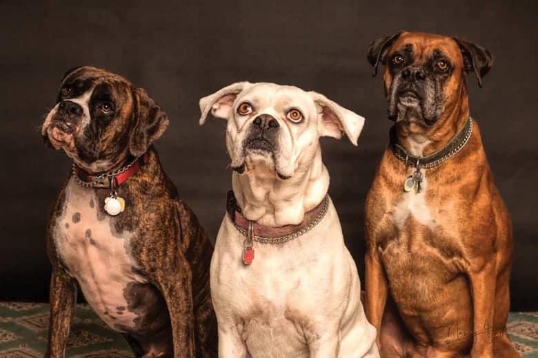 Bulmastif i drugi psi