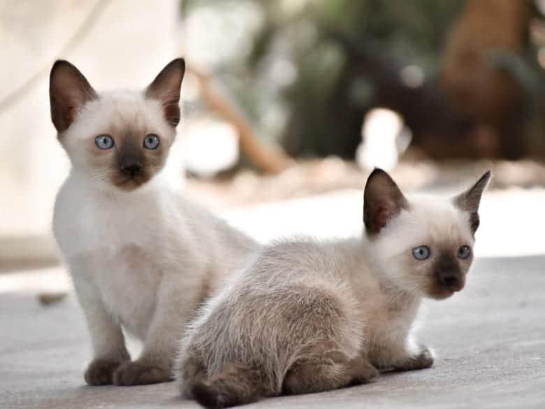 macici sijamske macke