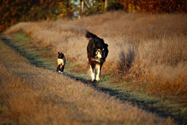 sijamska macka i psi