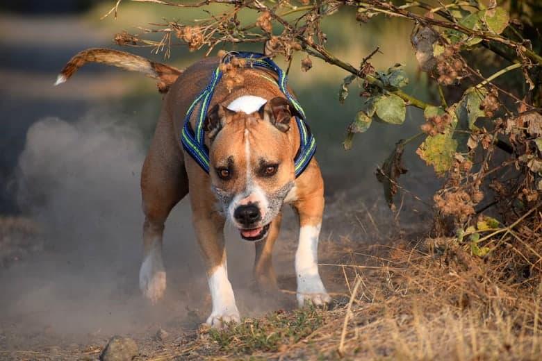energicni psi