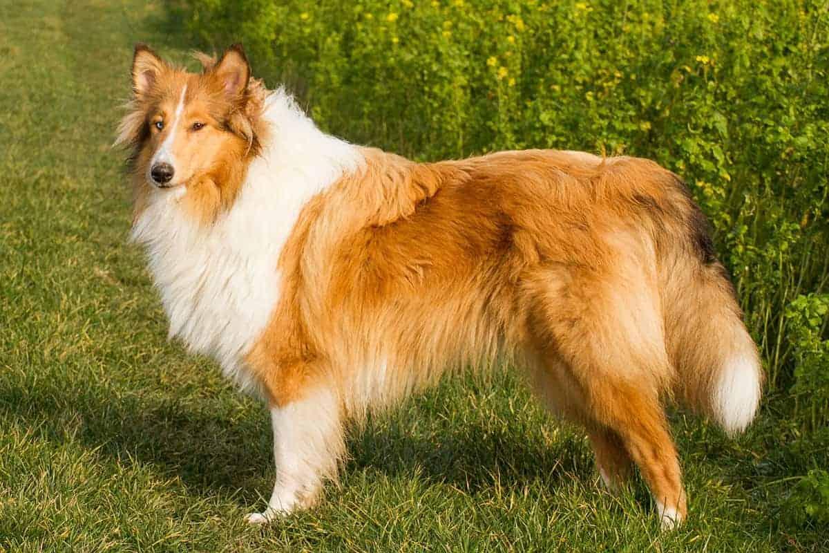 Škotski ovčar Lassie