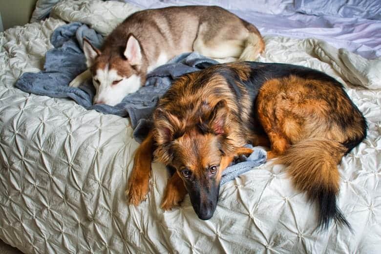 Sibirski haski i drugi ljubimci