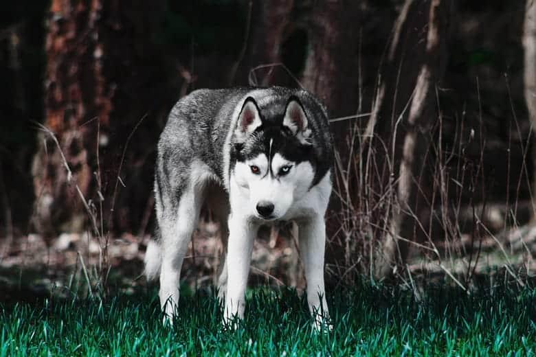 Sibirski haski plave oci