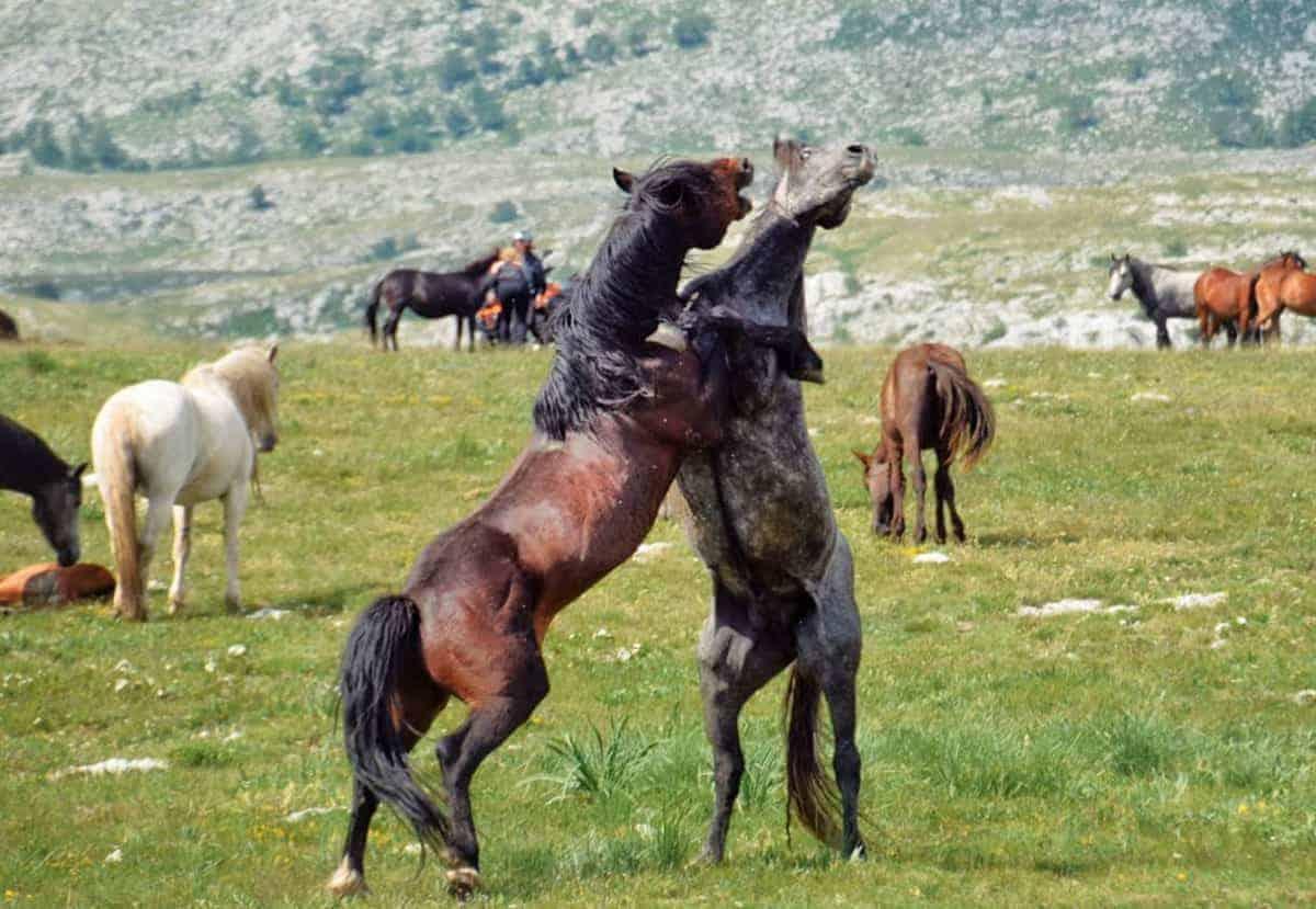Livno divlji konji