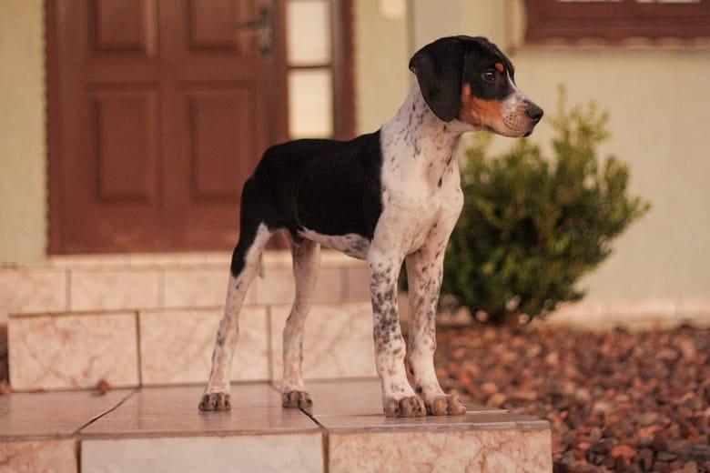 Američki lisičar (American Foxhound)