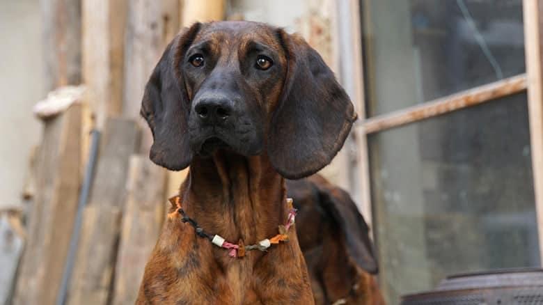 Krvosljednik (Bloodhound)